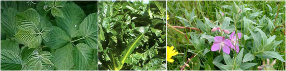 Листья: ежевики, цикория и кипрея